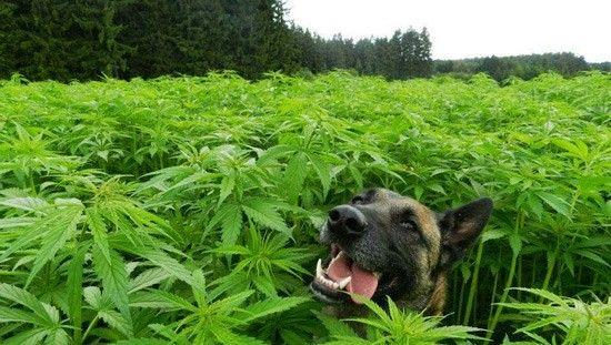 Marihuana i jej wpływ na nastrój
