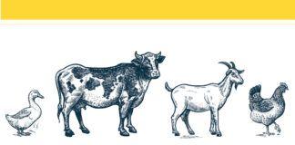 Rysunek przedstawiający kaczkę, krowę, kozę i kurę