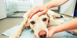 Pies leżący u weterynarza