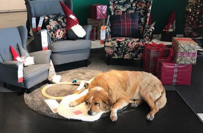 Pies lezący w sklepie IKEA