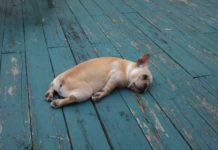 Buldog francuski leżący na podłodze
