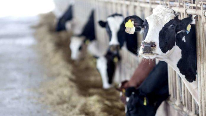 Krowy w zagrodzie