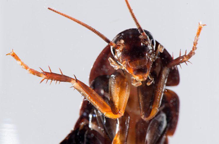 Brązowy karaluch