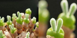 Rośliny wyglądające jak króliki