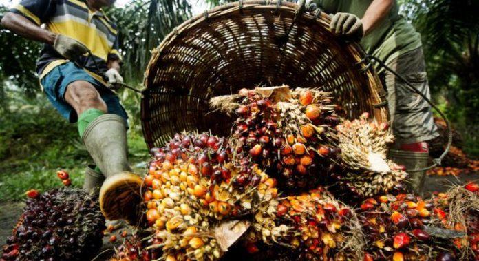 na zdjęciu widoczni są ludzie wysypujący nasiona palmy olejowej z dużych wiklinowych koszy