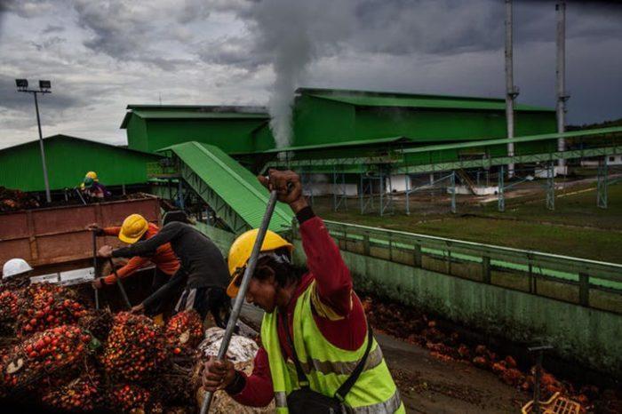 dwóch pracowników upycha nasiona palmy olejowej na przyczepie, w le widać dwie zielone hale i dym