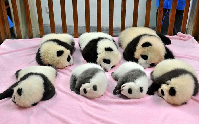 Pandy leżące na różowym kocyku