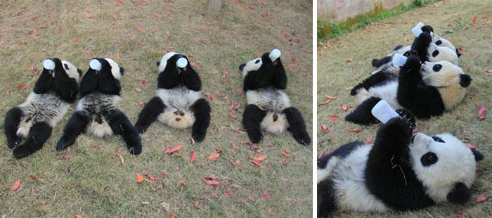 Dwie leżące pandy