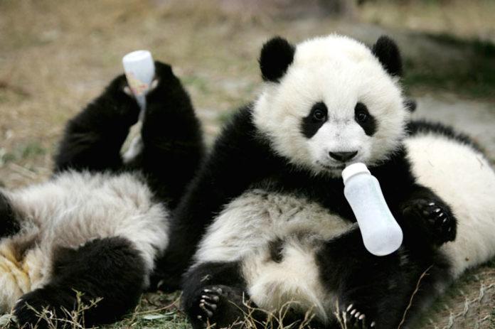 Dwie pandy z butelkami