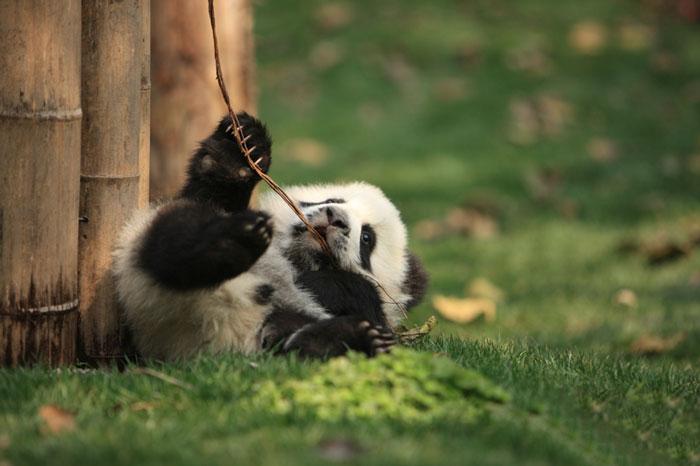 Panda bawiąca się patykiem