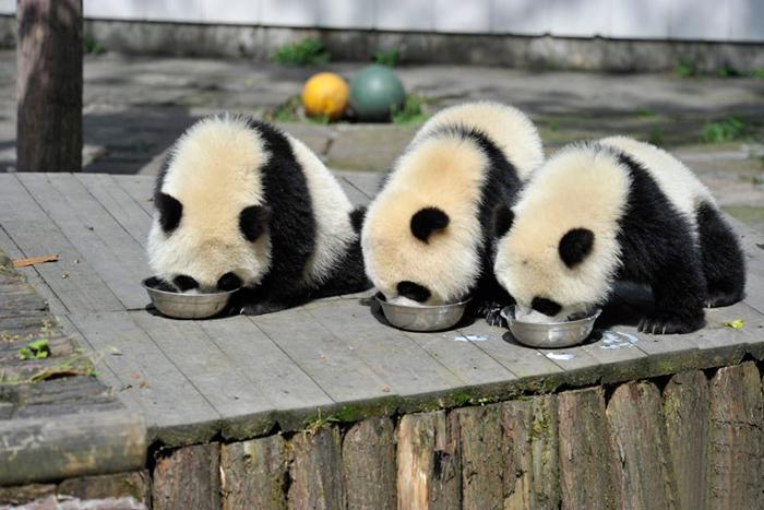 Pandy jedzące z miski