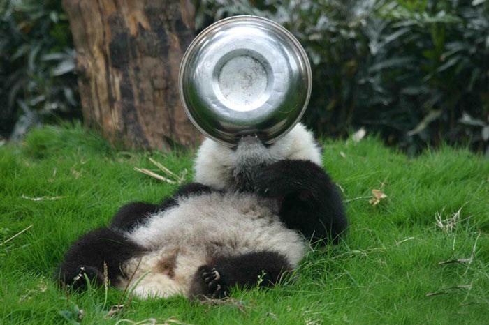 Panda z miską