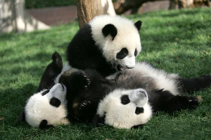 Trzy pandy bawiące się ze sobą