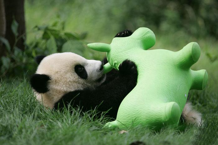 Panda bawiąca się plastikową zabawką