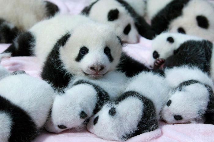 Małe pandy leżące jedna na drugiej