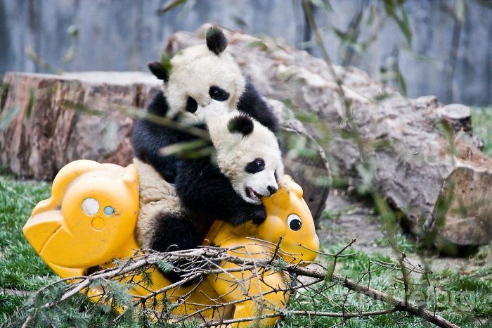 Pandy bujające się na koniku na biegunach