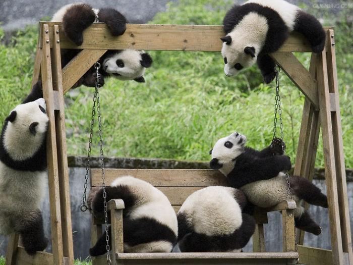 Pandy na huśtawce