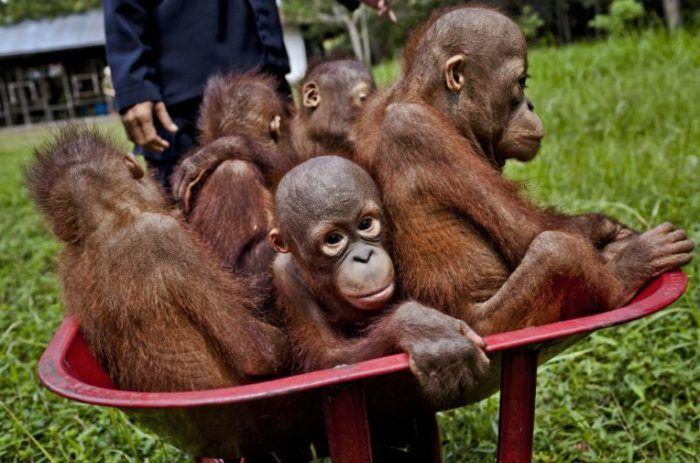 Baby orangutans at the Orangutan Foundation International Care Center in Pangkalan Bun, Central Kalimantan. Expansion of oil palm plantations is destroying their