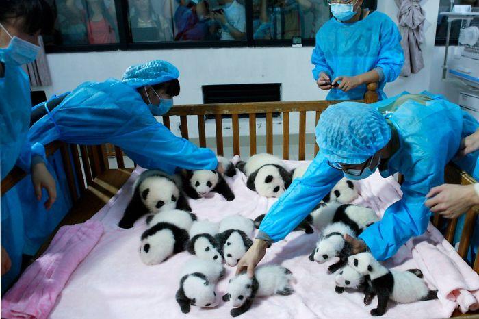 Pandy leżące w kojcu i ludzie, którzy się nimi opiekują