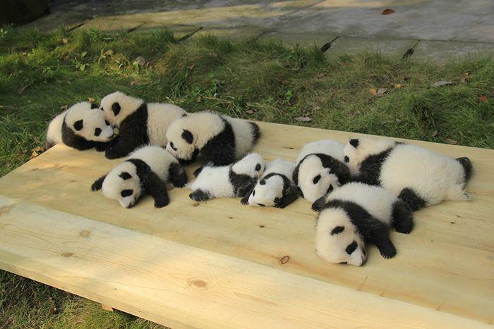 Pandy leżące na drewnianej desce
