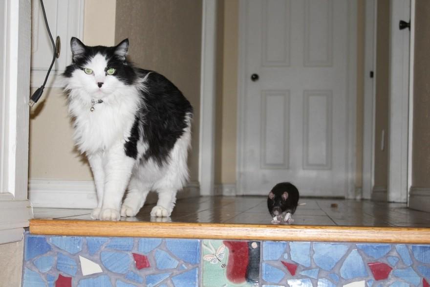 Kot i szczur stojący przed schodami