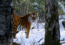 Tygrys stojący w zaśnieżonym lesie
