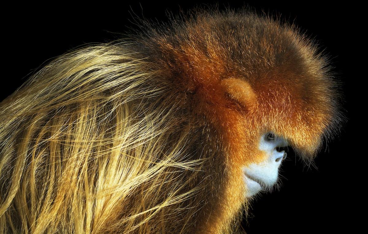 Zdjęcie małpy profilem