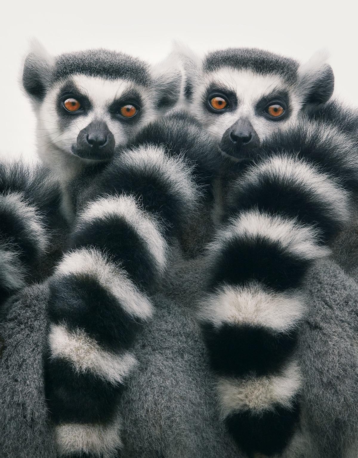 Zdjęcie dwóch lemurów obok siebie