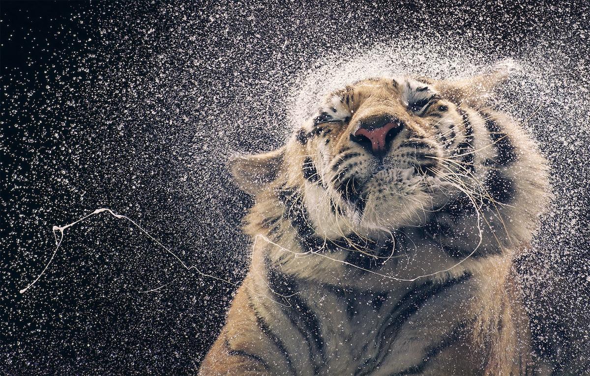 Zdjęcie tygrysa otrzepującego się z wody