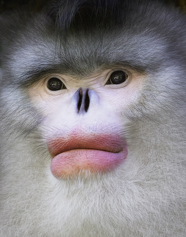 Portret małpy z dużymi ustami