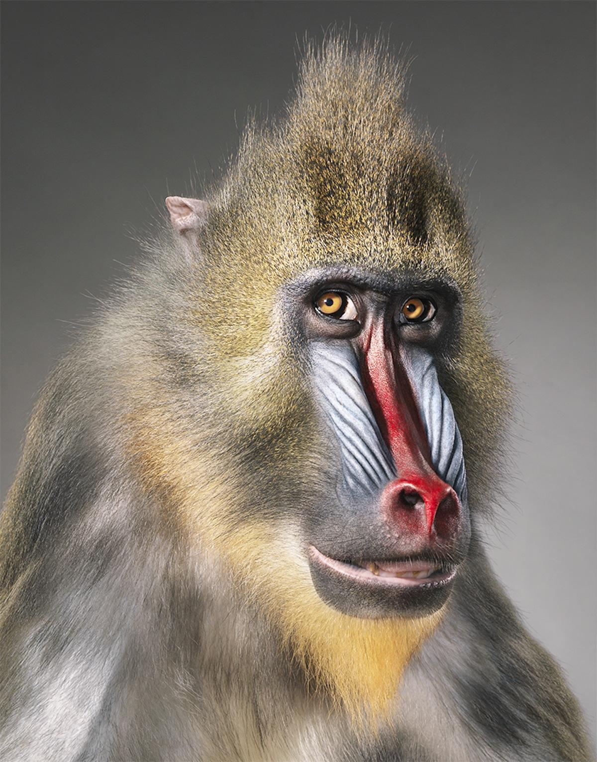 Zdjęcie szympansa patrzącego w obiektyw