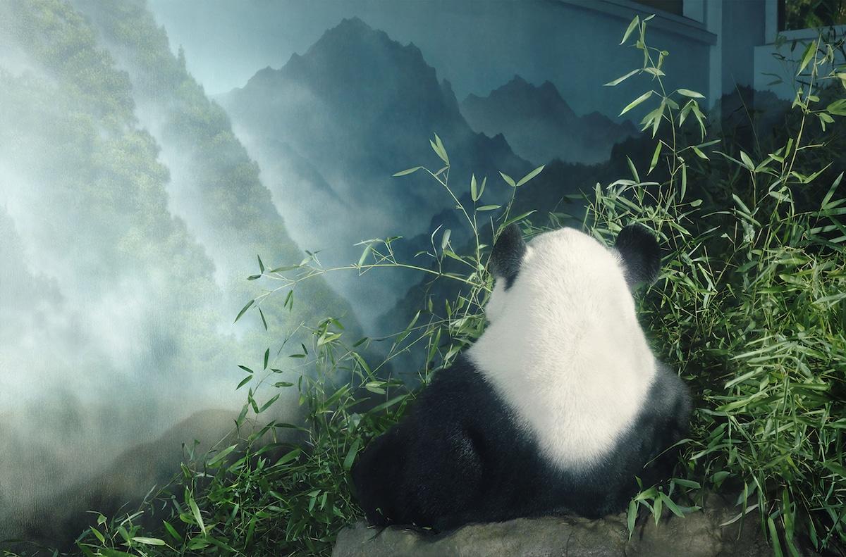 Zdjęcie pandy siedzącej tyłem do apartu, patrzącej w dal