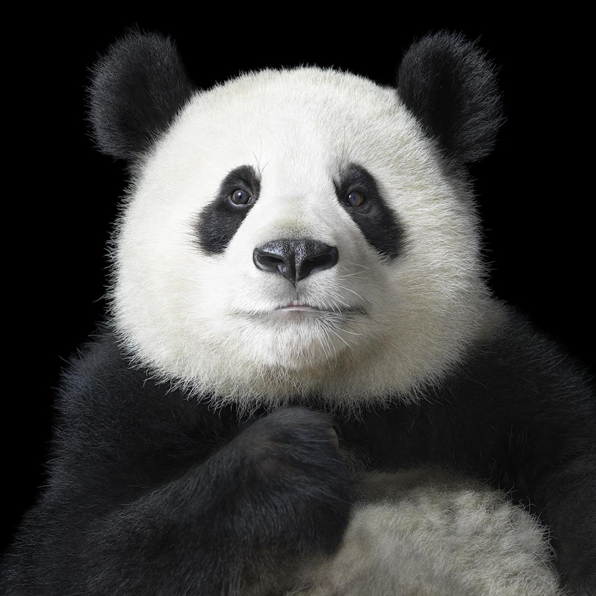 Zdjęcie pandy na czarnym tle