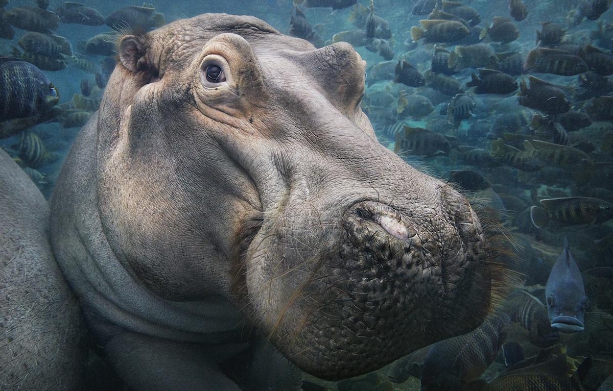 Zdjęcie hipopotama patrzącego w obiektyw