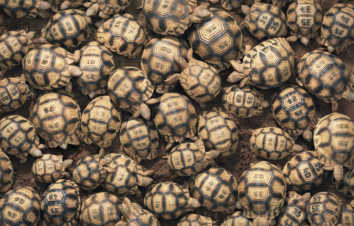 Zdjęcie zbiorowiska żółwi