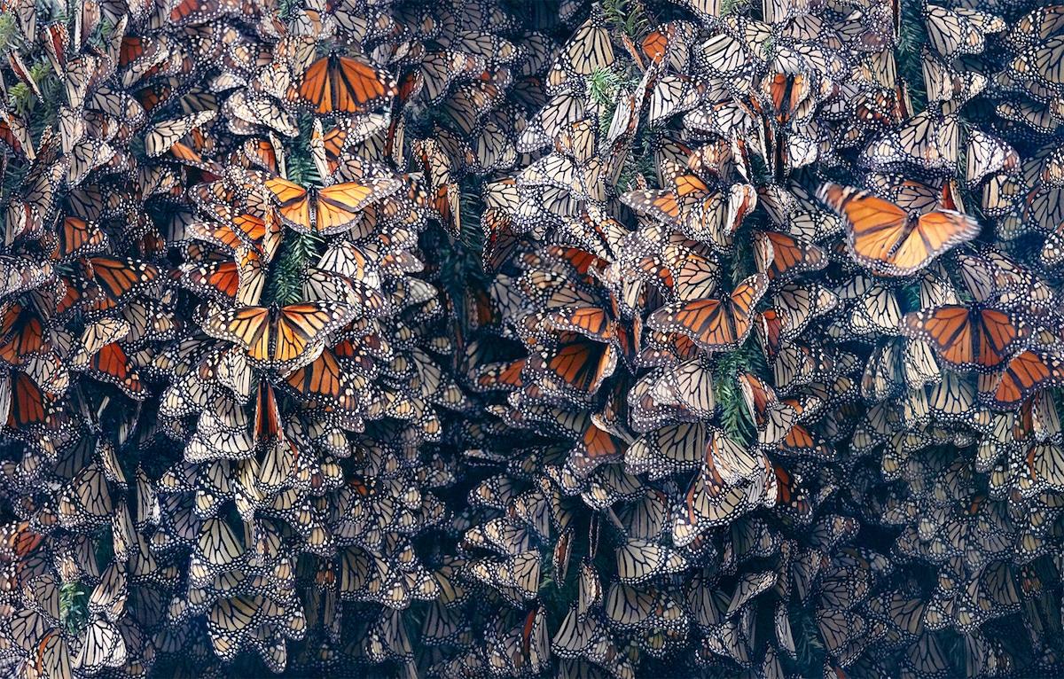 Zdjęcie zbiorowiska motyli