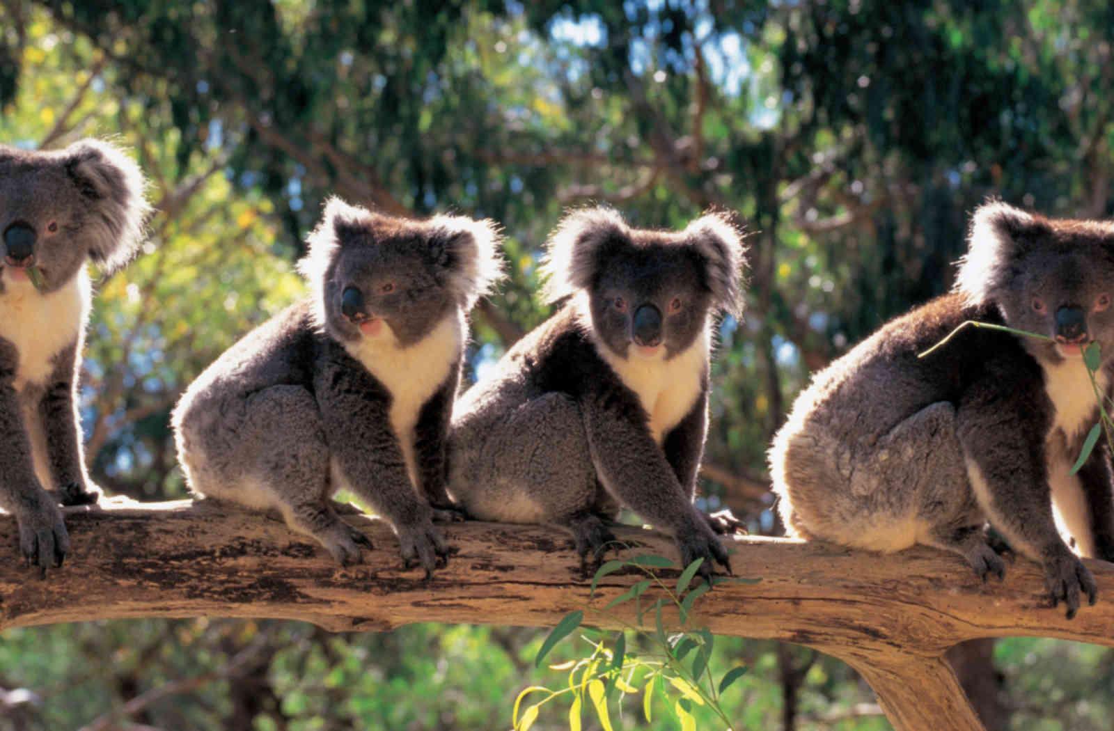 Cztery misie koala na gałęzi