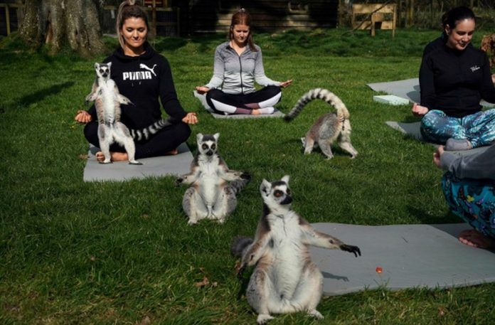 Lemury podczas zajęć z jogi
