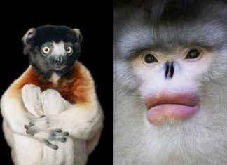 Dwa zdjęcia przedstawiające portrety małp