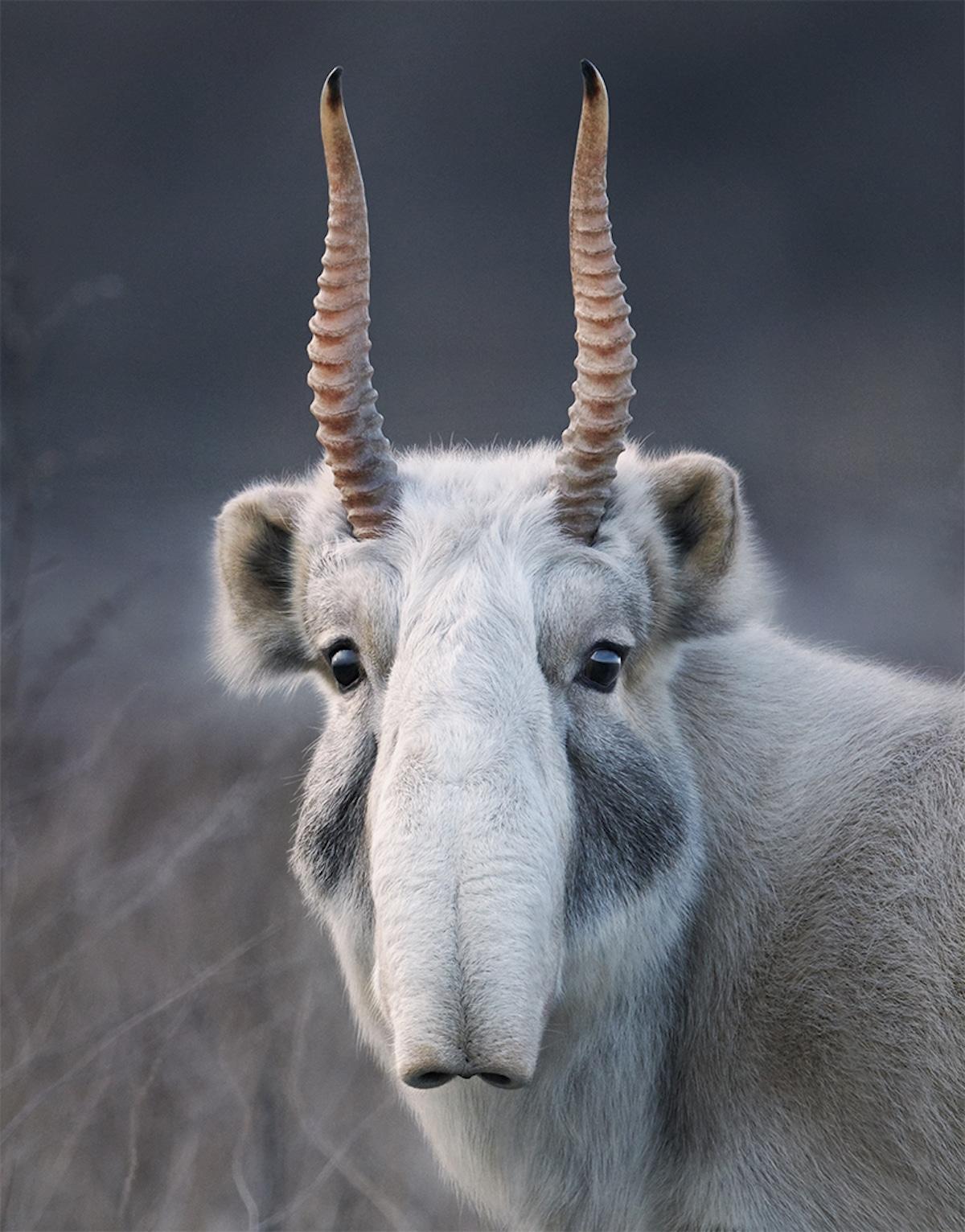 Zdjęcie zwierzęcia z rogami i długim nosem