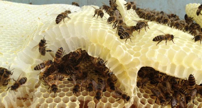 rój pszczół na wysuszonych plastrach miodu
