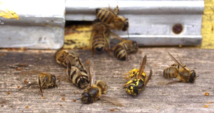 martwe pszczoły leżą na drewnianej powierzchni