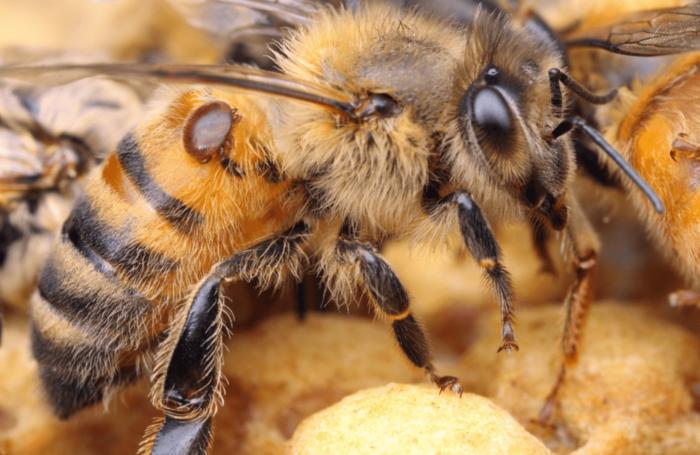 pszczoła pokazana z przybliżenia z pasożytem na sobie