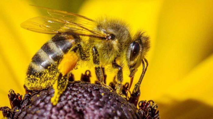 pszczoła oblepiona nektarem siedzi na płatku kwiatowym i pobiera pokarm