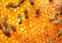 pszczoły na plastrze miodu