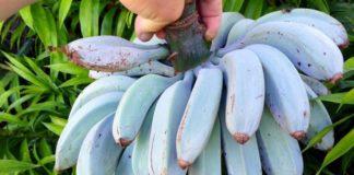 Niebieskie banany