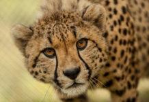 Zdjęcie geparda ze zbliżenia