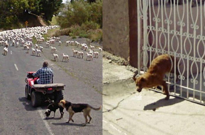 Dwa zdjęcia przedstawiające psy na google street
