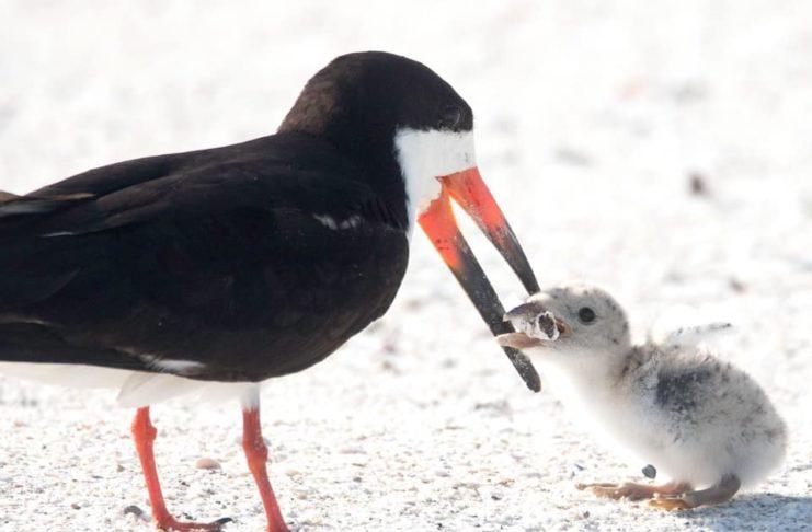 Ptak karmiący piskle petem
