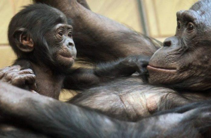 Duża małpa i mała leżąca na jej klatce piersiowej